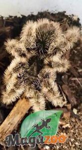 Mygale frisée, Magazoo l'univers des reptiles.