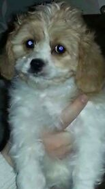 Lovely cavapoo puppy female