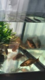 Bronze Goldfish for sale.