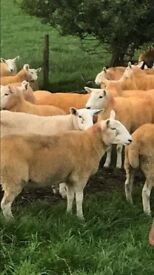 *** SHEEP FOR SALE *** 35 WICKLOW CHEVIOT HOGGETS FOR SALE