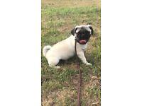 (Bear) beloved full breed pug puppy