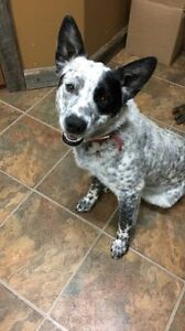 LOST - 7 mo blue heeler - male (not fixed)