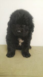 CKC Registered Purebred Newfoundland Puppies