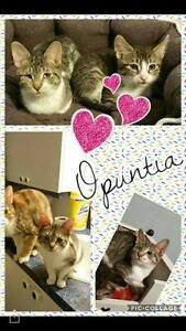 """Young Female Cat - Domestic Short Hair: """"Opuntia"""""""