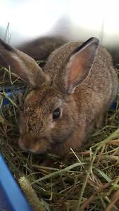 "Young Male Rabbit - American: ""Albert"""