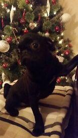 Amazing Black Pug Boy!