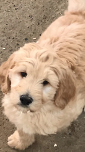 Goldendoodle - Ready to Go