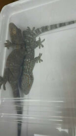 Tokay gecko Males for sale