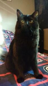 """Young Female Cat - Domestic Short Hair-black: """"Kylie"""""""