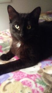 """Young Male Cat - Domestic Short Hair (Black): """"Mylo"""""""