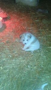 Akbash crossed with Great Pyrenees