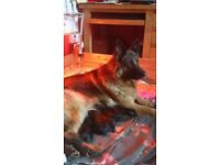 German Shepherd Puppies from Health Tested Parents