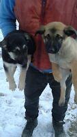 shepherd lab cross puppies