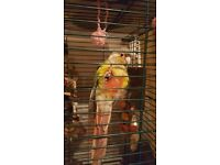 Pineapple Conure Parrot with cage and toys