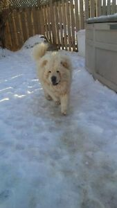White Chow AKC Registered with Breeding Rights