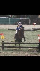14hh Riding pony Gelding Romsey Macedon Ranges Preview