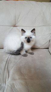 Purebred Ragdoll Kitten!!!