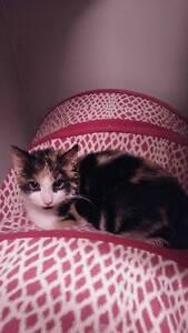 Kittenaide rescued cats & kittens Windsor Region Ontario image 8