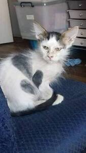 10 wk old kitties - one fluffy, one strange, both loving Largs North Port Adelaide Area Preview
