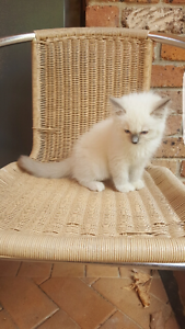 Ragdolls available for forever homes Pymble Ku-ring-gai Area Preview