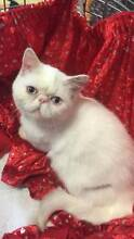 PEDIGREE Persians and Exotics  NEW PHOTOS Maddington Gosnells Area Preview