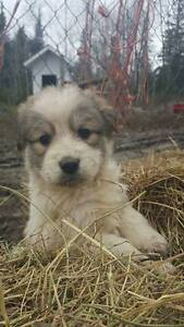 Pyrenees/Border Collie Puppies - (All Sold)