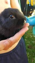 Beautiful Mini lops for sale.. East Ryde Ryde Area Preview
