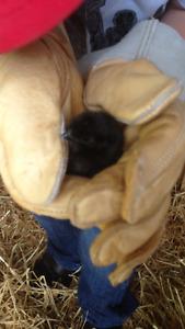 17 Chicks available Amerancana/silky