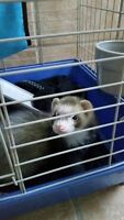 4 month old male ferret