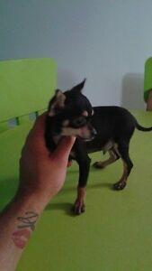 magnifique chiot Chihuahua à vendre