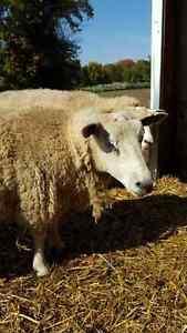 SHEEP HERD Kitchener / Waterloo Kitchener Area image 3