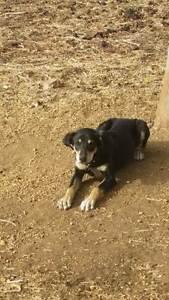 NZ BRED WORKING DOG Boddington Boddington Area Preview