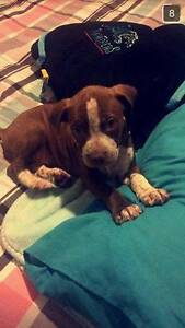 puppy for sale Forest Lake Brisbane South West Preview