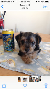 Yorkie Puppies.  Small Breed.  Hypo-Allergenic Yorkshire Terrier
