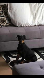 Beautiful Healthy 11 Week Old Doberman Puppy (South Surrey/White