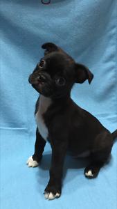 Boston Terrier x Pug Puppies Werrington County Penrith Area Preview