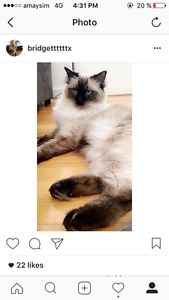 $3000 INSTANT CASH REWARD TO FIND MISSING RAGDOLL CAT O'Sullivan Beach Morphett Vale Area Preview