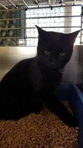 """Young Male Cat - Domestic Short Hair: """"Lucky"""""""