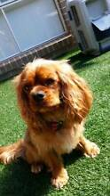 Cavalier King Charles Spaniel - Male - 2y old Mango Hill Pine Rivers Area Preview
