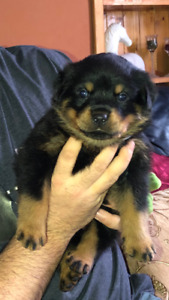 Rottweiler Puppies Adopt Dogs Puppies Locally In Ontario