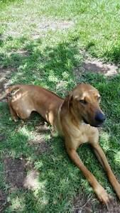 Rhodesian Ridgeback Puppy Peakhurst Hurstville Area Preview