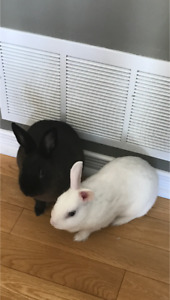 Two Dwarf Bunnies For Sale