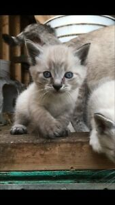 siamese x kittens for sale