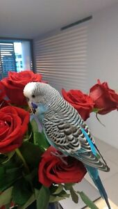 Beautiful Blue Budgie - Very friendly - Needs a Holiday Home Dec. Paradise Point Gold Coast North Preview