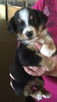 Bernese X Aussie Pups  Black and tan or blue merle