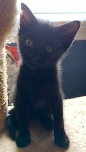 "Baby Male Cat - Domestic Short Hair (Black): ""Pirate"""