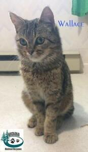"""Baby Male Cat - Domestic Short Hair: """"Wallace - Cutie!"""""""