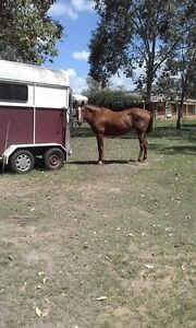 Kind chestnut mare Rosewood Ipswich City Preview