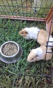 Baby Guinea Pigs for sale Sunshine North Brimbank Area Preview