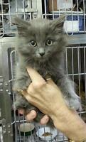 """Young Male Cat - Domestic Long Hair: """"Rayban 14 (PN 200)"""""""